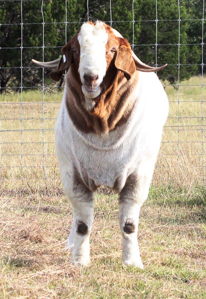 For Sale • PCG Boer Goats of Boerne, Texas - photo#13