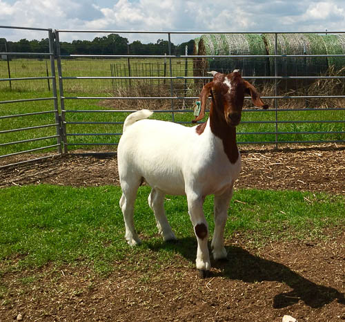 For Sale Pcg Boer Goats Of Boerne Texas